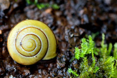 Brown-lipped snail (Cepaea nemoralis) Stock Images