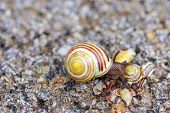 Brown-lipped snail crawling on broken shell Stock Photography