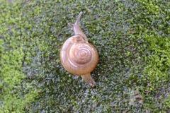 Brown Lipped Snail crawling. Brown Lipped Snail (Cepaea nemoralis) crawling on wet surface,Thiruvananthapuram,Kerala,India Stock Photos