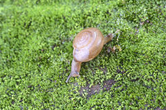 Brown Lipped Snail crawling. Brown Lipped Snail (Cepaea nemoralis) crawling on wet surface,Thiruvananthapuram,Kerala,India Stock Photography