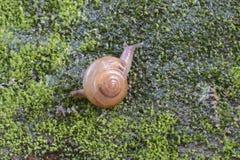 Brown Lipped Snail crawling. Brown Lipped Snail (Cepaea nemoralis) crawling on wet surface,Thiruvananthapuram,Kerala,India Royalty Free Stock Image