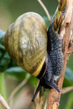 Brown-lipped snail Stock Image