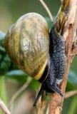 Brown-lipped snail. Brown-lipped or grove snail (Cepaea nemoralis) feeing on vegetation Stock Image