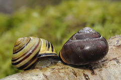 Brown-Lipped Snail mating Royalty Free Stock Image