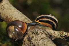 Brown-Lipped Snails mating Royalty Free Stock Photography