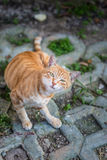 Brown listrou o gato que vende o seu bonito Fotos de Stock