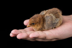 Brown little baby chicken in the hand with black background. Royalty Free Stock Photo