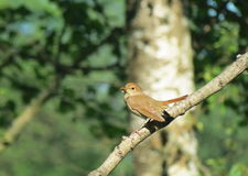 Brown little bird royalty free stock photos