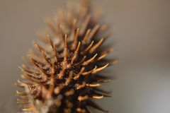 Brown little bump thorn macro Royalty Free Stock Photography