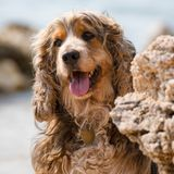 Brown little dog shows tongue. royalty free stock photos