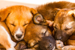 Brown little dogs sleeping. Cute puppies sleep together Royalty Free Stock Image