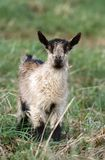 Brown little goat Stock Photography