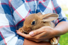 Brown little hare sits in mans hands Royalty Free Stock Photos
