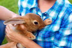 Brown little hare sits in mans hands. Royalty Free Stock Images