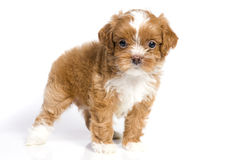 Brown little havanese puppy Royalty Free Stock Photos