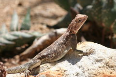 Brown Lizard Royalty Free Stock Image