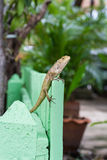 Brown Lizard or asian lizard Stock Photo