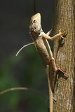 Brown lizard in Bardia National Park Royalty Free Stock Image