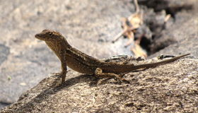 Brown lizard basking in the sun Royalty Free Stock Photo