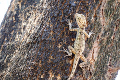 Brown lizard,beauty colorful Stock Photo