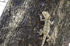 Brown lizard,beauty colorful Stock Photography