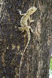 Brown lizard,beauty colorful Royalty Free Stock Image