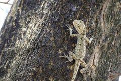 Brown lizard,  Stock Photo