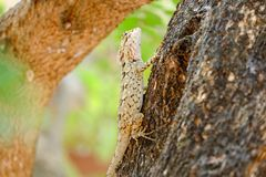Brown lizard, beauty colorful background blur.A reptile Stock Images