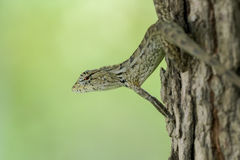 Brown lizard camouflaging on a tree. Brown lizard in hiding on a tree Royalty Free Stock Photos