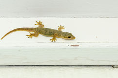 Brown lizard climb on white wood Stock Images