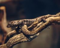 Brown lizard climbing on a plant bark royalty free stock photography