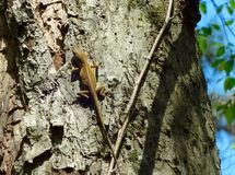 A brown lizard climbing up a tree Royalty Free Stock Images