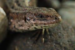 Brown lizard close up Stock Photos