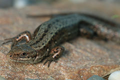 Brown lizard close up Stock Image