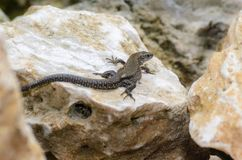 The brown lizard crawled on a stone. The brown lizard crawled to bask on a large stone Stock Photo