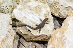 The brown lizard crawled on a stone. The brown lizard crawled to bask on a large stone Stock Image