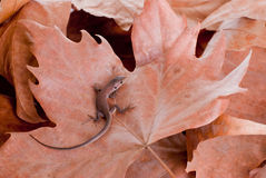 Brown lizard on dry brown leaves Stock Photography