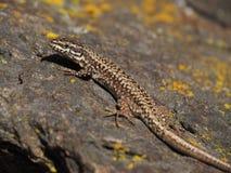 Brown lizard enjoying the sunlight stock photography