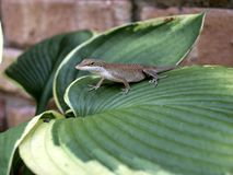 Brown lizard Royalty Free Stock Photos