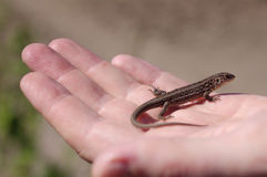 Brown lizard on a hand. Royalty Free Stock Photo