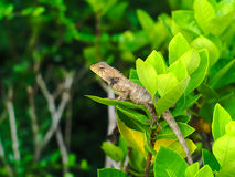 Brown lizard hidden in a bush Stock Photo