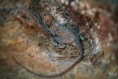 Brown lizard hiding in a rock Royalty Free Stock Photo