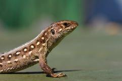 Brown lizard Lacerta agilis. Stock Image