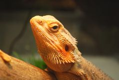 Brown lizard Stock Photography