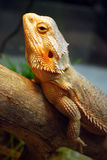 Brown lizard Stock Photography