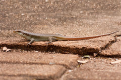 Brown lizard laying on rock Stock Photos