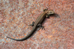 Brown lizard Stock Photo