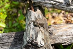 Brown Lizard on Log Fence royalty free stock photography