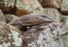 Brown lizard portrait Royalty Free Stock Photo
