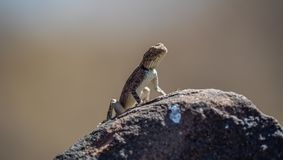 Brown lizard on a rock. Looking courious royalty free stock image